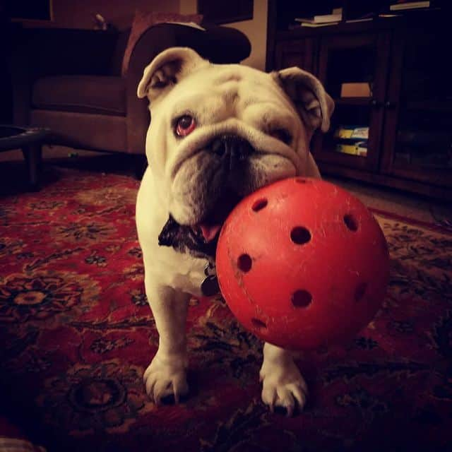 Roxy, our bulldog playing with one of her favorite toys.
